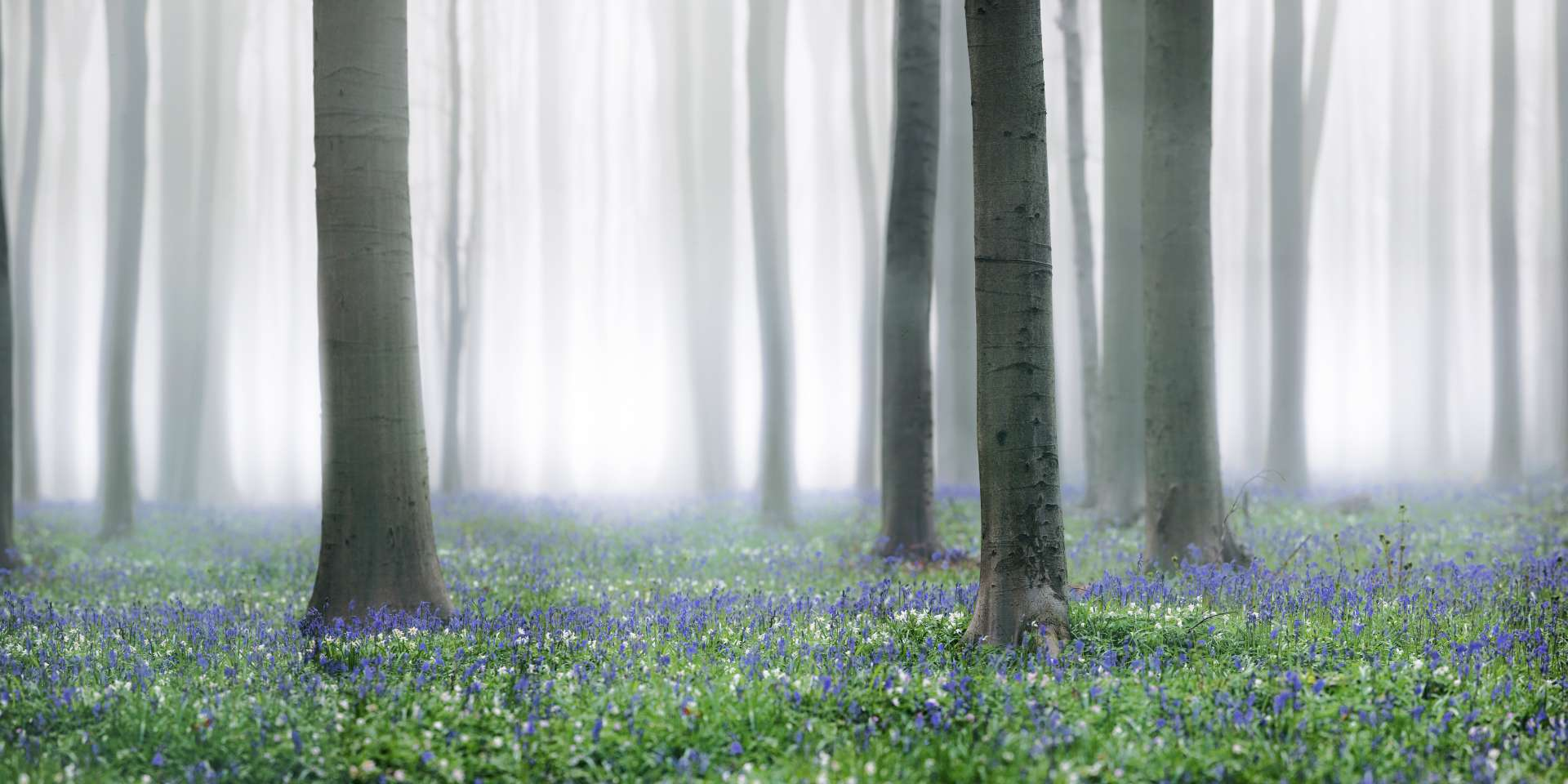 Flowering Bluebells in the Hallerbos | Landscape | Koen De Muynck
